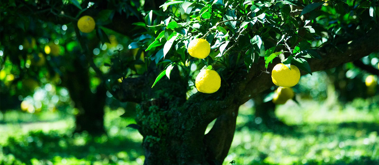 木頭柚子の特徴